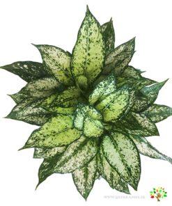 برای تماشای تصویر گیاه آگلونما به سایت مجموعه پارادایس مراجعه کنید همه چیز درباره آگلونما در بزرگترین سایت گیاهان آپارتمانی سایت مجموعه پارادایس www.qzparadise.ir
