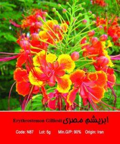 بذر درخت ابریشم مصری Erythrostemon Gilliesii