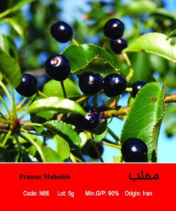 بذر درخت محلب Prunus Mahaleb