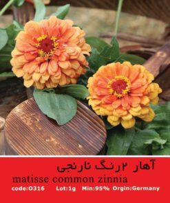بذر گیاه آهار دورنگ نارنجی Matisse Common Zinnia