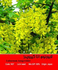 بذر درخت لابورنوم انا گیرویدز Laburnum Anagyroides