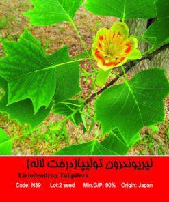بذر درخت لیریوندرون تولیپا Liriodendron Tulipifera