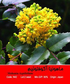 بذر درخت ماهونیا آکوفلوئیم Mahonia Aquifolium