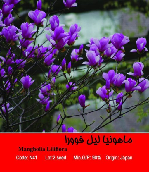 بذر درخت ماهونیا لیل فوورا Mangholia Liliflora
