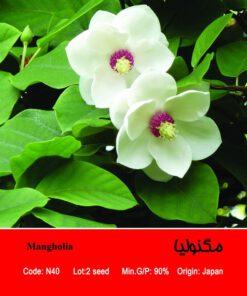 بذر درخت مگنولیا Mangholia