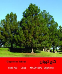 بذر درخت کاج تهران Cupressus Tehran