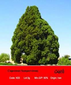 بذر درخت کاج زربین Cupressus Sempervirens