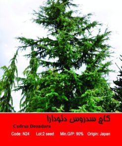 بذر درخت کاج سدروس دئودرا Sedrus Deondara