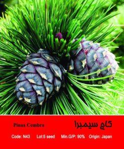 بذر درخت کاج سیمبرا Pinus Cembra