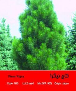 بذر درخت کاج نیگرا Pinus Nigra