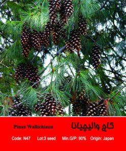 بذر درخت کاج والیچیانا Pinus Wallichiana
