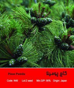 بذر درخت کاج پومیلا Pinus Pumila