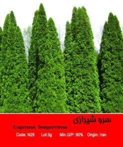 بذر درخت سرو شیرازی Cupressuse Sempervirens