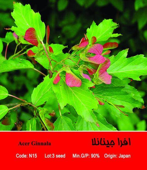 بذر درخت افرا جینانلا Acer Ginnala