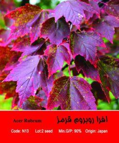 بذر درخت افرا روبروم قرمز Acer Rubrum