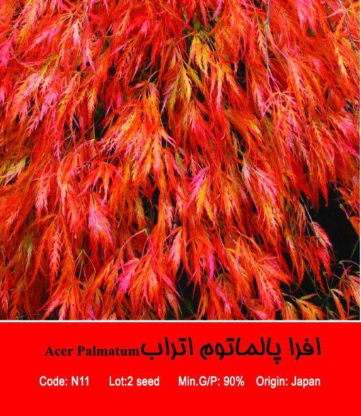 بذر درخت افرا پالماتوم اتراب Acer Palmatum