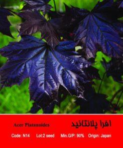بذر درخت افرا پلانتانید Acer Plantanoides