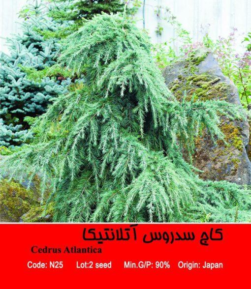 بذر درخت کاج سدروس آتلانتیکا Cedrus Atlantica