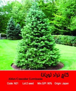 بذر درخت کاج لویانا Abies Concolor Lowiana