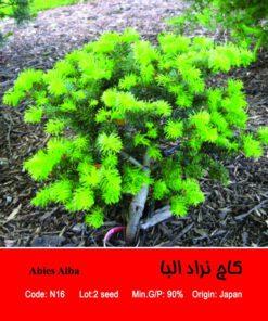 بذر کاج نراد آلبا Abies Alba